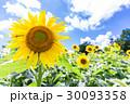 花 ひまわり 向日葵の写真 30093358