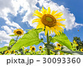 花 ひまわり 向日葵の写真 30093360