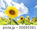 植物 花 ひまわりの写真 30093361
