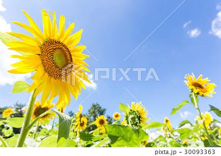 夏の青い空とヒマワリの花々 30093363
