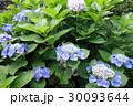 青い紫陽花 30093644