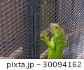動物 イグアナ は虫類の写真 30094162