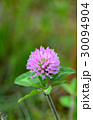 赤詰草 紫詰草 花の写真 30094904