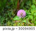 赤詰草 紫詰草 花の写真 30094905
