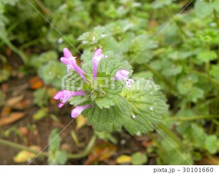 春の小さい唇形状の花はホトケノザ 30101660