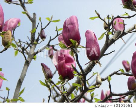 春に咲く大きな紫色の花モクレンの花 30101661