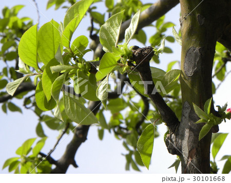 秋には香りの良いの実を付けるカリンの若葉 30101668