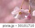 八重紅枝垂れ桜 30101710