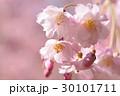 八重紅枝垂れ桜 30101711