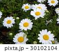 ノースポールの白い花 30102104