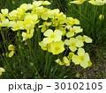 ハナビシソウの黄色い花 30102105