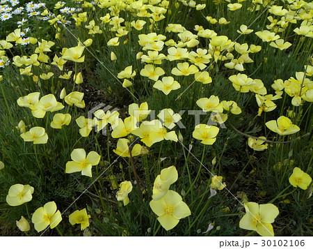 ハナビシソウの黄色い花 30102106