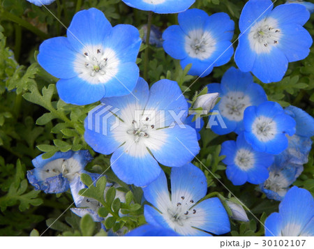 こどもの笑顔のようなネモフィラの青い 30102107