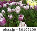 チューリップのすじの入った桃色の花 30102109