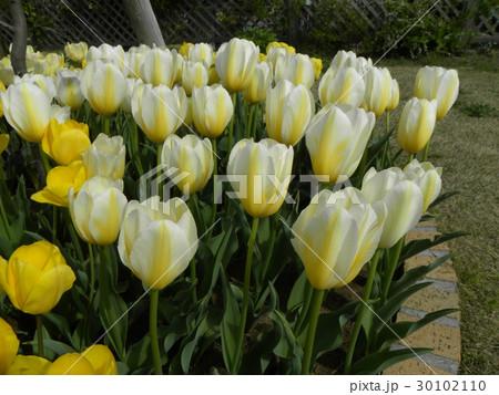 チューリップの黄色のすじの入った白色の花 30102110