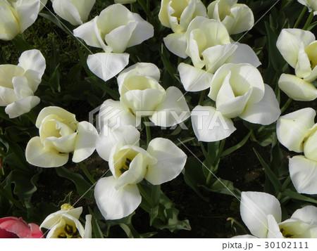 変り咲きチューリップの白色の花 30102111