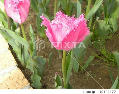 フリンジ咲きの桃色のチュリップ 30102177