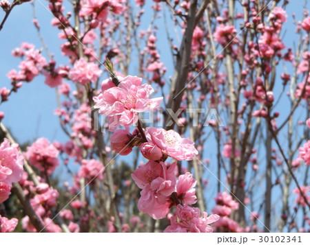 ハナモモの綺麗なピンクの花 30102341