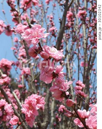 ハナモモの綺麗なピンクの花 30102342