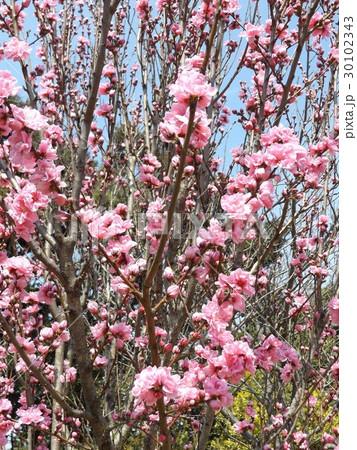 ハナモモの綺麗なピンクの花 30102343