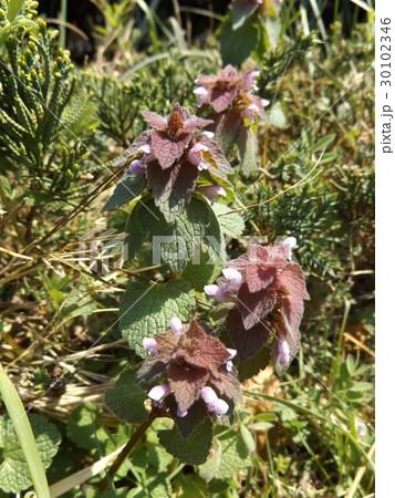 春に紫色の花を咲かす野草ヒメオドリコソウの花 30102346
