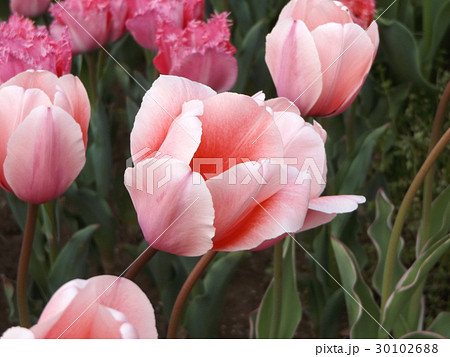 変わり咲きの桃色のチュリップ 30102688