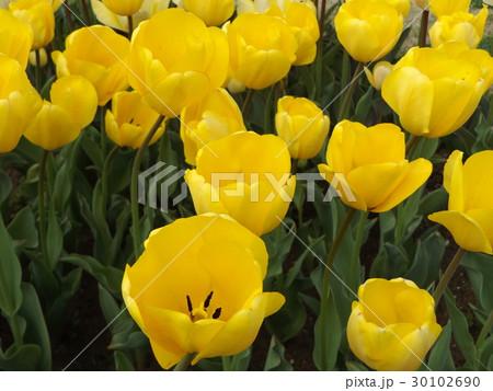 黄色い色のチュリップ 30102690