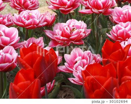 赤色と変わり咲き桃色のチュリップ 30102694
