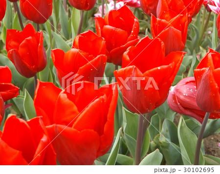 赤色のチュリップ 30102695