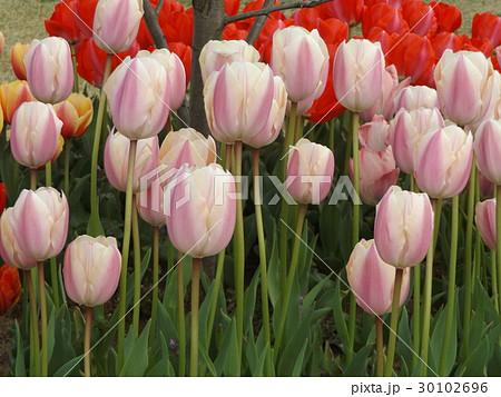 桃色の筋の入った白色のチュリップ 30102696