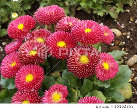 春の花デージーの赤い花 30102855