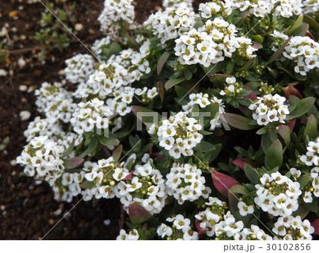 スイートアリッサムの白い花 30102856
