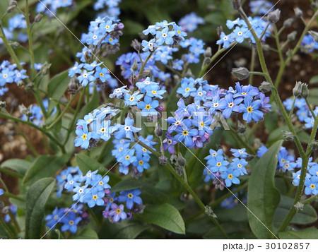 ワスレナグサの青い花 30102857