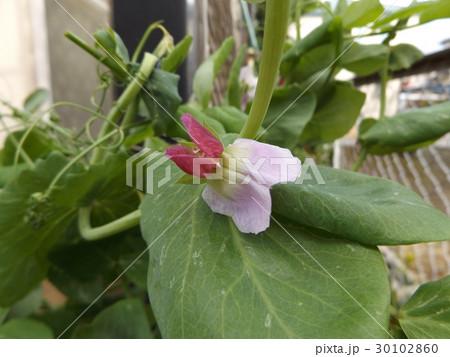 紫色の花が珍しいツタンカーメンノエンドウマメ 30102860