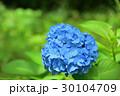 青紫陽花 30104709