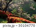 八重桜 30104770