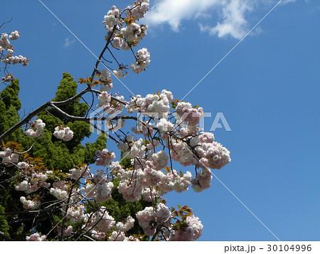 八重の桜は遅咲きのサクラ 30104996