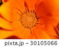 ガザニア キク科 ガザニア属の写真 30105066
