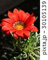 ガザニア キク科 ガザニア属の写真 30105139