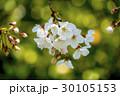桜 30105153