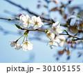 桜 ソメイヨシノ 桜の花の写真 30105155