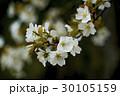桜 30105159
