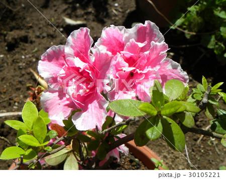 ツツジの改良種アザレアの桃色の花 30105221
