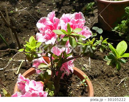 ツツジの改良種アザレアの桃色の花 30105222