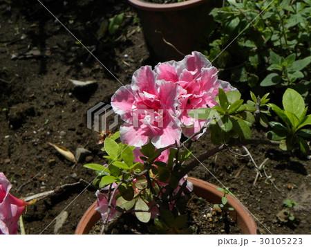 ツツジの改良種アザレアの桃色の花 30105223