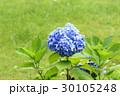アジサイ 紫陽花 あじさいの写真 30105248