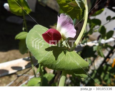 紫色の花が珍しいツタンカーメンノエンドウマメ 30105336