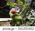 紫色の花が珍しいツタンカーメンノエンドウマメ 30105402