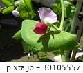 紫色の花が珍しいツタンカーメンノエンドウマメ 30105557