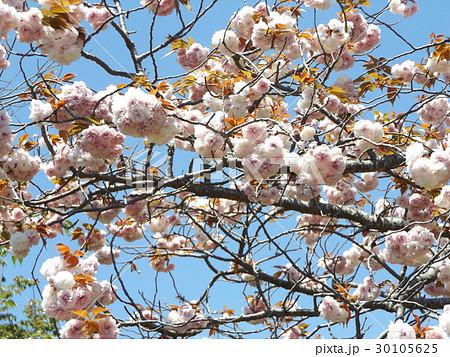 八重の桜は遅咲きのサクラ 30105625